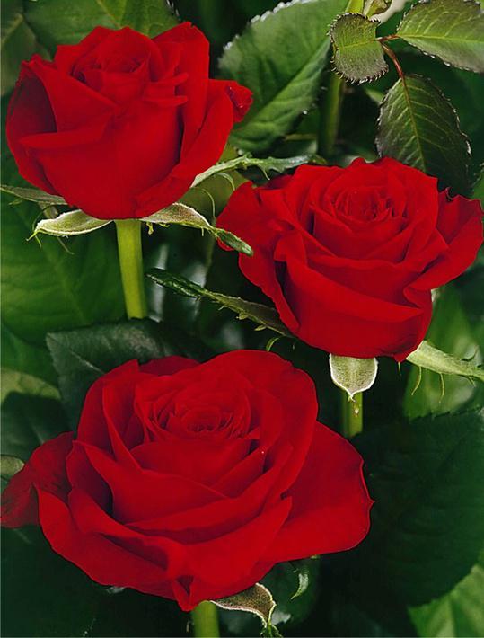 Мраморные розы Миллерово заказ памятника на кладбище Ленинский проспект