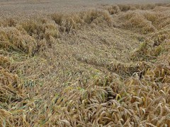 Pakistan, UK and Russia Witness Rise in Wheat Prices